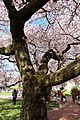Sakura @ University of Washington, Seattle (6909852698).jpg