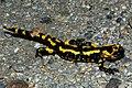 Salamandra salamandra 01 by-dpc.jpg