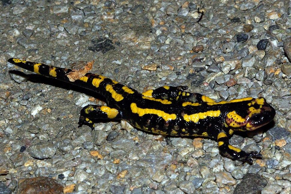 Salamandra salamandra 01 by-dpc