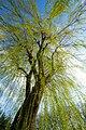 Salix(ab-infra).jpg