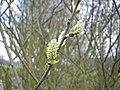 Salix caprea 013.jpg