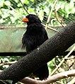 Saltator fuliginosus -Pomerode Zoo, Santa Catarina, Brazil -adult male-8a.jpg