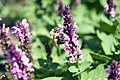 Salvia nemorosa Sensation Rose 0zz.jpg
