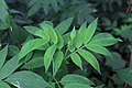 Sambucus chinensis in Wuyishan Chengcun 2012.08.24 08-30-34.jpg