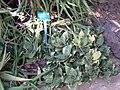 Sansiavieria trifascita - Jardin d'Éden.jpg
