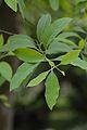 Santalum album - Indian Botanic Garden - Howrah 2013-03-31 5745.JPG