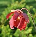 Sarracenia (alata x flava) x open-pollinated (5837731061).jpg