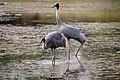 Sarus crane with juvenile foraging at Lumbini.jpg