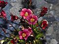 Saxifragaceae - Saxifraga x arendsi.jpg