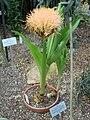 Scadoxus puniceus (BG Zurich)-02.JPG