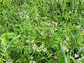 Scandix pecten-veneris Habitat 2011-4-07 SierraMadrona.jpg