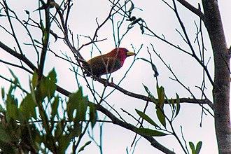 Scarlet-hooded barbet - Image: Scarlet hooded Barbet Manu NP 9370 (16221000918)