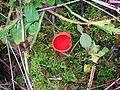 Scarlet Elf Cup fungus.JPG