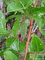 Schinus terebinthifolius, aroeira-da-praia - Flickr - Tarciso Leão (3).jpg