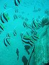 Schooling bannerfish.JPG