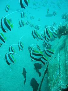 Fish bearing two strong black stripes separated by one strong white stripe with long white tendril as dorsal fin