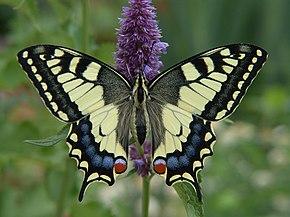 Machaon (papillon) — Wikipédia