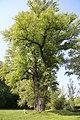 Schwarzpappel (Naturdenkmal 790) Bild 1.JPG