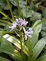Scilla lilio-hyacinthus 06.JPG