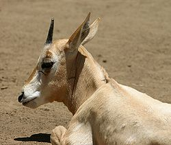Scimitar-horned Oryx.jpg