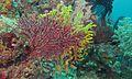 Sea Fan (Acabaria sp.) (6136361542).jpg