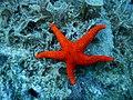Sea Star Red.jpg