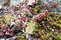 Sedum divergens and unidentified moss - Flickr - brewbooks.jpg