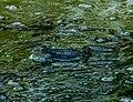 Seefrosch im Naturschutzgebiete Buttenheim.jpg
