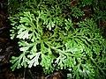 Selaginella doederleinii 生根卷柏 1 (天問).jpg