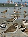 Semi-palmated Plover from The Crossley ID Guide Eastern Birds.jpg
