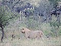 Serengeti 7 (14700694465).jpg