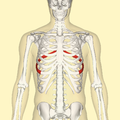 Seventh rib frontal.png