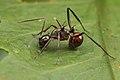 Shattuck 53009, Polyrhachis, Danum Valley, Sabah-web (5042967028) (2).jpg