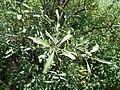 Shepherdia argentea 2017-05-23 0873.jpg