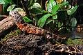 Shinisaurus crocodilurus - Tiergarten Schönbrunn 4.jpg