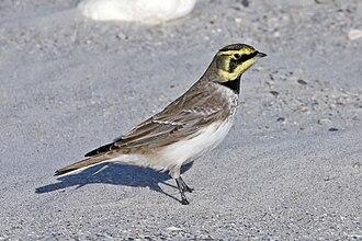 Horned lark - Image: Shore Lark