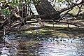 Shore birds, mangrove tour (24569808171).jpg