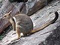 Short-eared rock wallaby in Kakadu 1.jpg