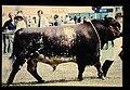 Shorthorn = 世界の牛 ショートホーン(雄) (36660260546).jpg