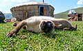 Siamese cat in the Altai.jpg