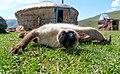 Siamese cat in the Altai.jpg