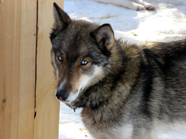 Image Result For Siberian Husky Near