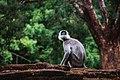Sigiriya Monkey.jpg