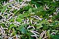 Silkworms (蚕与桑叶) (3911027223).jpg