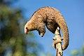 Silky Anteater.jpg
