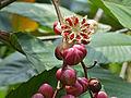 Simpoh Air (Dillenia excelsa) fruits (15378608050).jpg