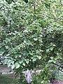 Sinojackia rehderiana feuilles fruits.JPG
