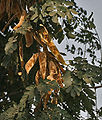 Siris (Albizia lebbeck) leaves & pods at Hodal W IMG 1267.jpg