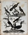 Six landbirds of the order Picae. Line engraving by T. Milto Wellcome V0020564.jpg