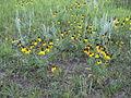 Sk-Asteraceae.jpg